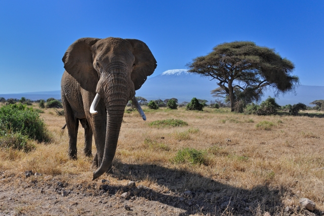 Bull Elephant in front of Mt. Kilimanjaro in Amboseli National Park, Kenya, East Africa